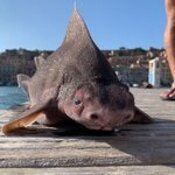 Bizarre pig-faced shark found dead in the Mediterranean Sea. Is it real?
