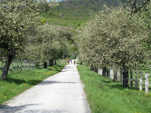 Jabloňová alej pri Žrebčíne Backová na ceste z Topoľčianok do Skýcova