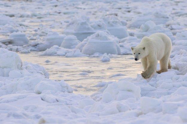 Polárny medveď sa prechádza na podreží Hudson Bay v Manitobe.