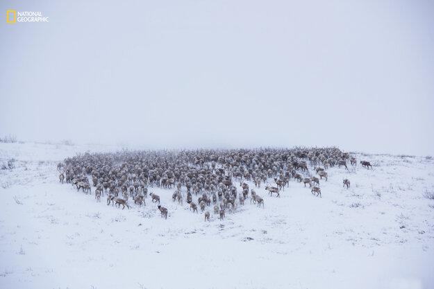 NWT Reindeer herd # 3