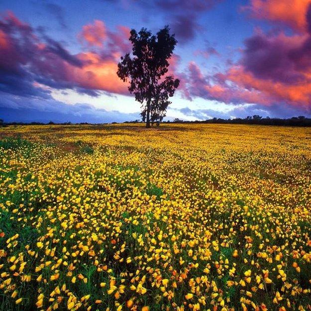 Gumovník stojí v poli plnom žltých divokých kvetov na západnom myse južnej Afriky. Vo svete divokých kvetov má toto miesto na najmenšej ploche najviac druhov kvetov.