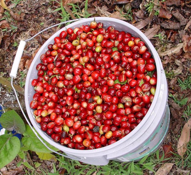 Kávové zrnká z provincie Chiriquí