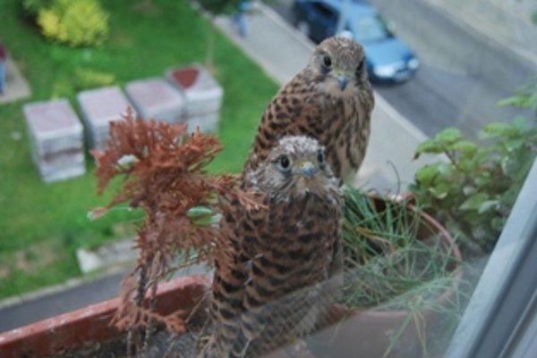 Mládaťá sa uvelebili v hniezde na okne druhého poschodia.