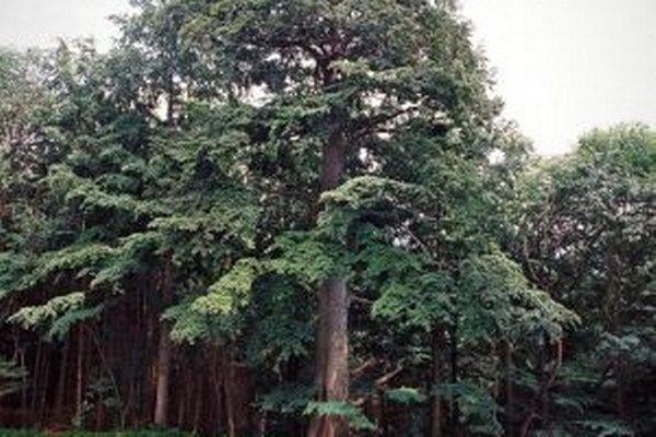 Medzi dvanástich finalistov postúpil aj buk lesný v Ochodnici – Petránkach. Jeho vek odhadli na 300 rokov.