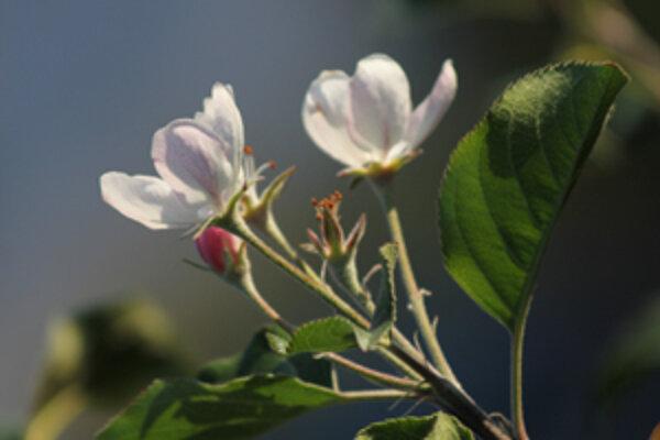 Teplé jesenné počasie pomýlilo aj stromy. Tie začali kvitnúť.