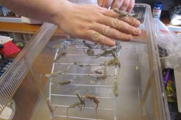 Malé chameleóny sú veľkí jedáci. Najradšej majú mikrosvrčkov.
