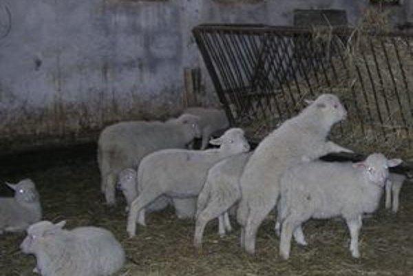 Kysuckí chovatelia kvôli silnej mene nevedia predať jahňatá na veľkonočný taliansky trh.