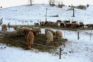 Aj takto vyzerá zima na Kráľovej. S kravami na snehu.