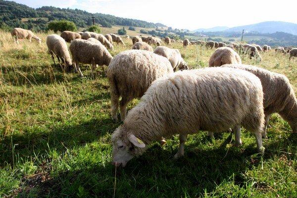 Chov oviec dnes v Belej potláča urbanizácia.