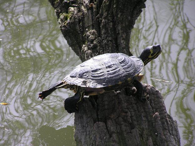 Korytnačka písmenková, ktorá žije v jazere Hangócka.