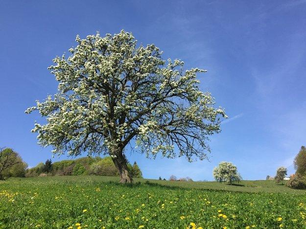 Dvestoročná Hruška ružová z Bošáce - Zabudišovej tieto dni kvitne.