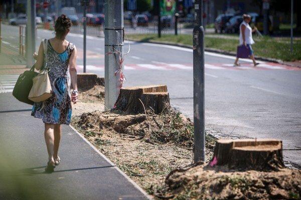 Pôvodne úrady s výrubom stromov nesúhlasili. Pri oprave chodníka však zistili, že môžu byť nebezpečné.