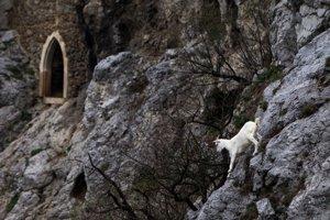Kozy už nasadili na Hrade Devín. Dostanú sa až na hradné bralo.