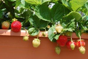Na balkóne pokojne pestujte aj jahody, bylinky, či paradajky. Väčšina z toho však zimu vonku neprežije.