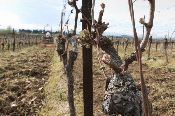 Vinohrady, ktoré klčujú, sú chránené.