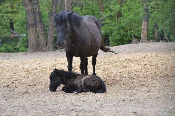 V ZOO sa narodil aj malý poník Shetlandský.