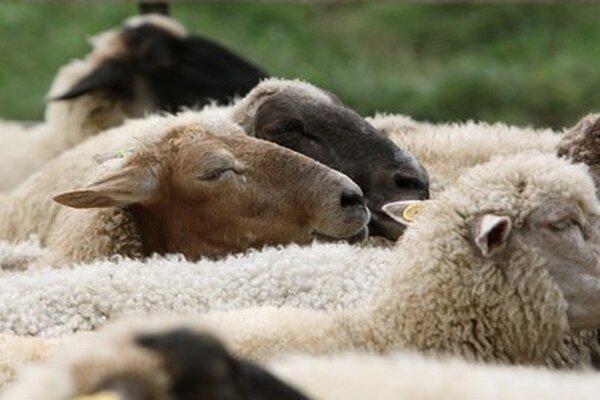 V areáli devínskeho hradu sa bude cez leto pásť osem oviec.