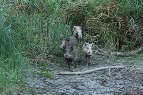 Na Sihoti zachytili srnce, diviaky aj bobra.