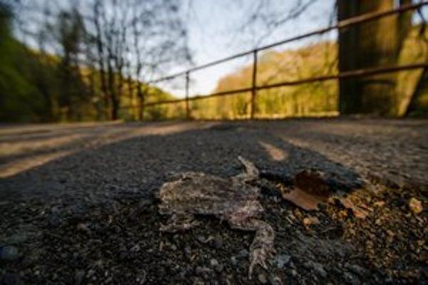 Rozpučená žaba vedľa výtlku na Ceste mládeže.