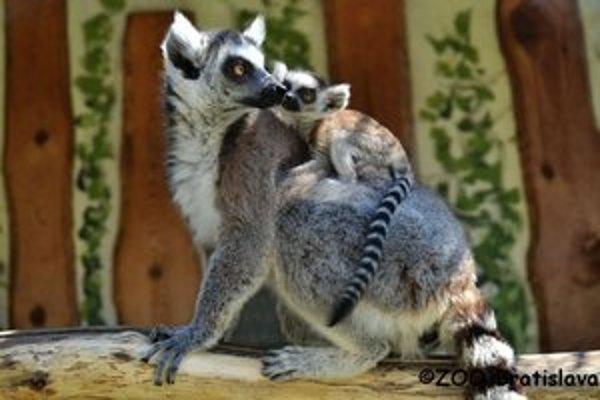 Malé lemury matka nosí najprv na bruchu, potom na chrbte.