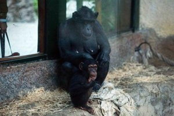 Mláďa šimpanza učenlivého Shani Kimani.