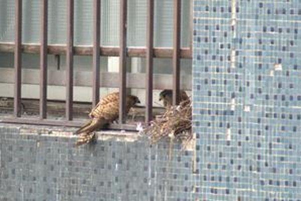 Dravce hniezdia vo výklenkoch, v internátoch v Mlynskej doline sa usadili na balkóne.