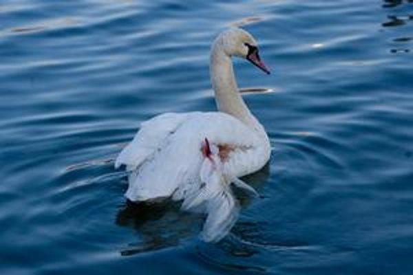 Labuť dnes plávala v jazere Draždiak. Ranu vidno na prvý pohľad.