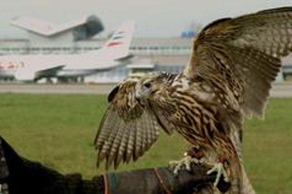 Plašenie holubov a iného drobného vtáctva sa robí pomocou sokoliarov aj na letiskách.