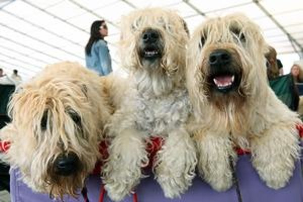 Od štvrtka do nedele bolo v Bratislave vyše 30-tisíc psov. Organizátori najväčšej psej súťaže na svete ich museli rozdeliť. Časť, ktorá sa zúčastňovala na celoslovenskej súťaži, sa sťahovala na závodisko v Petržalke, asi 21-tisíc psov bolo v Inchebe.