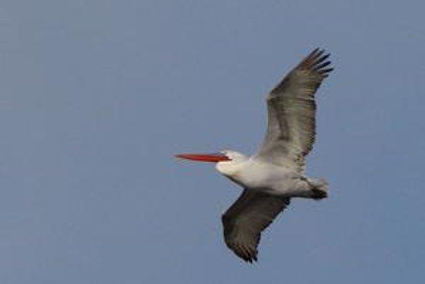 Vzácny pelikán, krúžiaci nad Petržalkou.