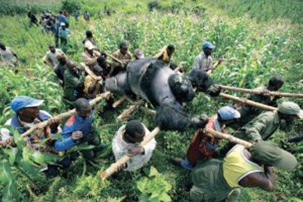 Prvé miesto v kategórii súčasná problematika: Evakuácia mŕtvych horských goríl v Národnom parku Virunga vo východnom Kongu.
