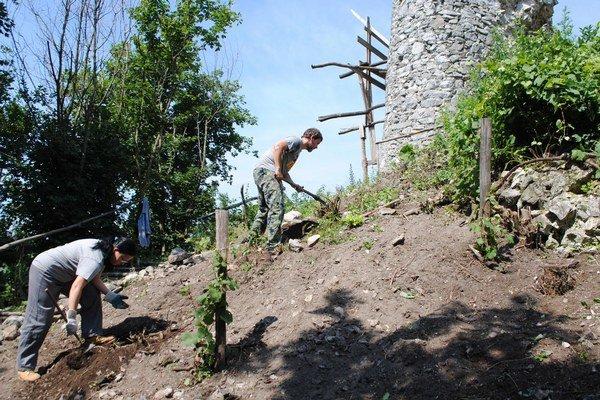Vinič na hrade. Objavili hod pod časťami padnutého múru. Vek viniča odhadujú na viac ako 200 rokov.