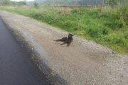 Psík ležal pri ceste celé hodiny. Nik zo šoférov neprejavil o jeho osud záujem.
