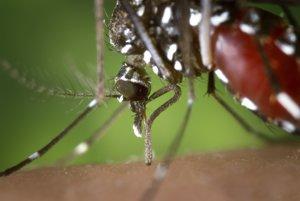 Komár tigrovaný