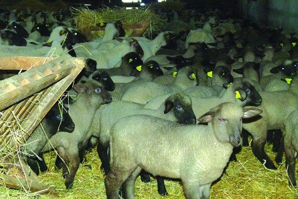 Chov oviec má v PD Žemberovce dlhoročnú tradíciu. Z mlieka sa vyrábajú stále viac obľúbenejšie ovčie syry.