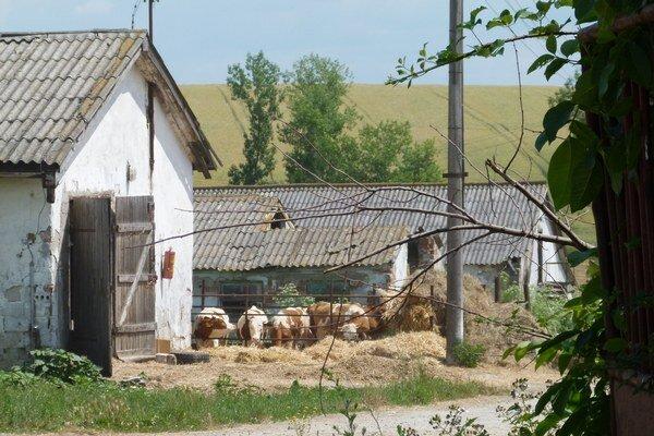 Hovädzí dobytok je lákadlom pre zlodejov.
