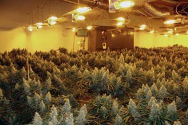 V minulosti však polícia odhalila aj veľkú plantáž s marihuanou v Nitre, kde konope pre rakúskeho majiteľa pestovali občania Maďarska.