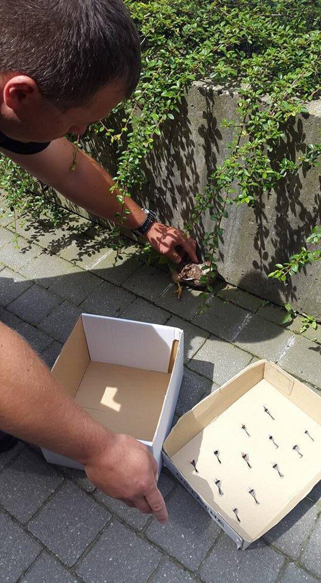 Sokola myšiara opatrne odchytili do krabice.