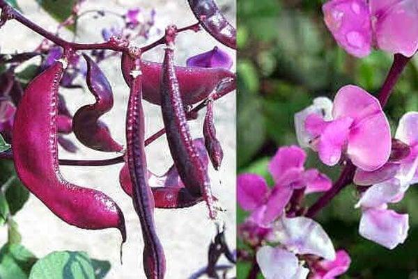 Takto vyzerajú plody a kvety fazule lablab.