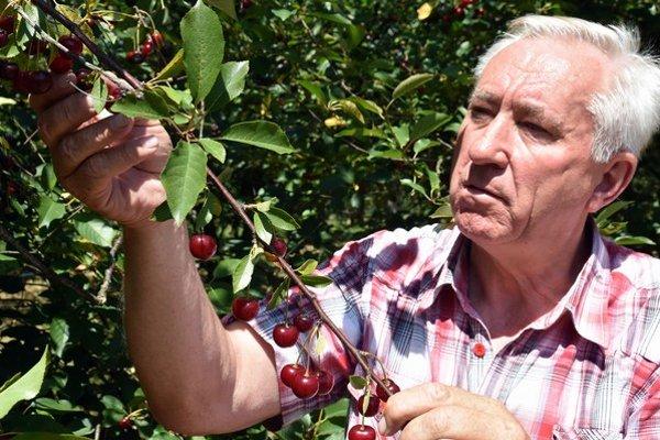 Na snímke riaditeľ firmy Agromix Pavol Vagaský kontroluje úrodu.