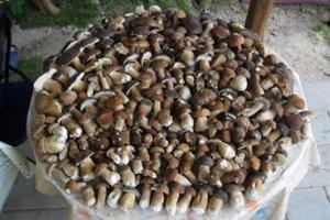 V kocurianskej hore sa dá za tri hodiny nájsť 270 dubákov.