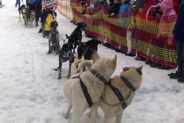 Vzorne nastúpení. Šestica európskych saňových psov.