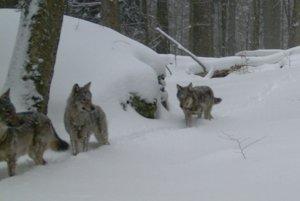 Vlčia svorka na love v zime.
