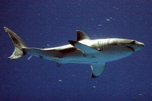 Žralok biely je najväčšou dravou rybou na Zemi.