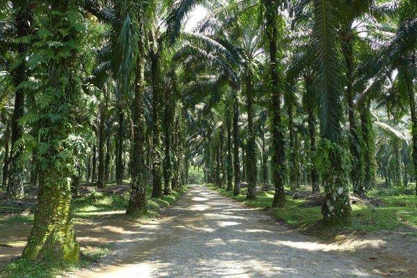 Palmový olej je významnou exportnou položkou indonézskej ekonomiky. Krajina je najväčším producentom palmového oleja vo svete.