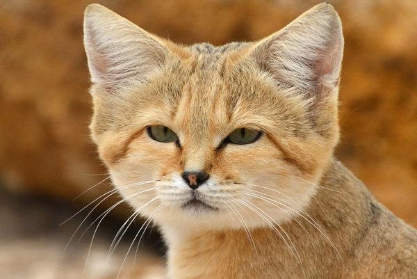 Mačka púšťová (Felis margarita).