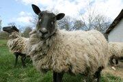 Ovce. Vírus môžu prenášať mliekom, neskôr ich organizmus vyrába protilátky.
