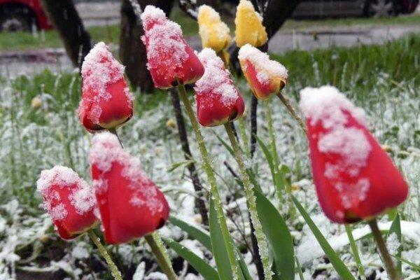 Prízemné mrazy a snehové zrážky zničili aj kvetinové záhony.