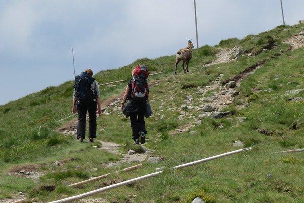 V Národnom parku Nízke Tatry kamzíky obývajú celú centrálnu časť Ďumbierskych Nízkych Tatier nad hornou hranicou lesa od kóty Králička až po Ďurkovú aj s priľahlými bočnými hrebeňmi Skalka, Bóry, Konsko, Ludárka.