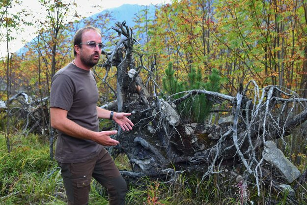 Riaditeľ Správy Tatranského národného parku Pavol Majko ukazuje, ako na suchom pni vyrastá nová kosodrevina.